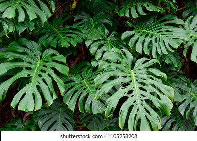 Closeup of beautiful fresh green leaves of monstera deliciosa tropical plant background use for your design or nature concept. Leaf is the main organs of photosynthesis and transpiration.