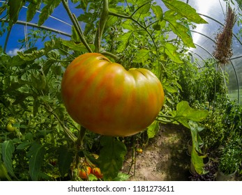 Closeup beautiful and fresh green and ripe tomatoes on branch grown in a greenhouse in Moscow region Russia