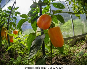 Closeup beautiful and fresh red sweet pepper on branch grown in a greenhouse in Moscow region Russia