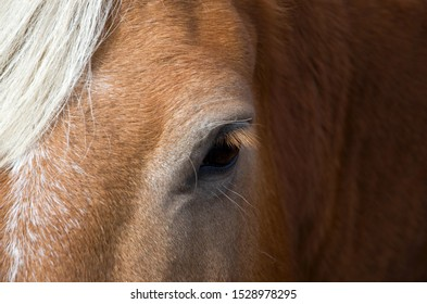 Close-up of a Beautiful Friendly Chestnut Horse Horizontal