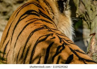 Closeup of the beautiful fur of an Amur Tiger.
