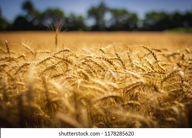Closeup of beautiful golden wheat field on a sunny summer day with clear blue sky, LaPorte, Indiana
