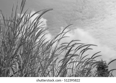 Closeup beautiful grass flowers with black and white