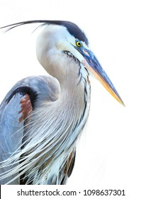 Closeup of a Beautiful Great Blue Heron (Ardea Herodias) with a White Background