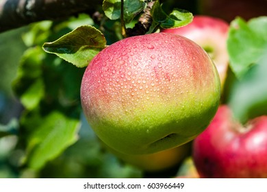 closeup of beautiful green apples with blur background. nature