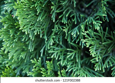 Closeup of Beautiful green christmas leaves of Thuja trees on green background. Thuja twig, Thuja occidentalis is an evergreen coniferous tree. Platycladus orientalis (also known as Chinese thuja, Ori