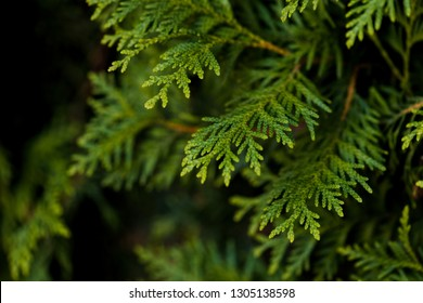 Closeup of Beautiful green christmas leaves of Thuja trees on green background. Thuja twig, Thuja occidentalis is an evergreen coniferous tree. Platycladus orientalis, also known as Chinese thuja, Ori