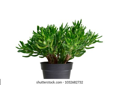 Closeup of beautiful green Crassula ovata Gollum or Dollar money houseplant or Finger jade plant isolated on white background.