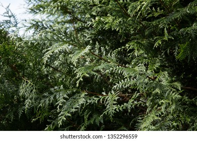 Closeup of Beautiful green  leaves of Thuja trees. Thuja twig, Thuja occidentalis is an evergreen coniferous tree in the cypress family Cupressacea