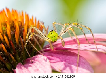 Closeup of a beautiful Green Lynx Spider waiting for prey on top of a Purple Coneflower