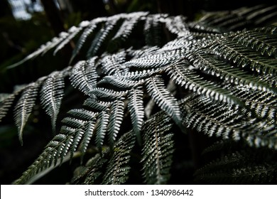 Close-up of beautiful hard-lit fern leaves in a rain forest against a dark background. Shallow DOF.