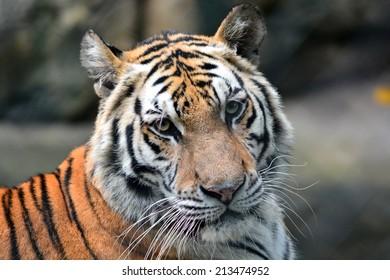 Close-up of beautiful head tiger
