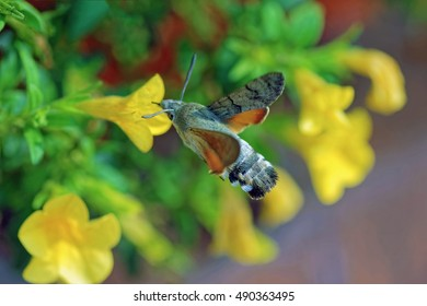 Close-up of a beautiful hummingbird hawk-moth (Macroglossum stellatarum) hovering over a yellow blooming flower while collecting nectar with its long proboscis. Blurred background.