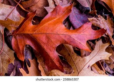 Closeup of Beautiful Intricate Fall Foliage.  A single leaf on a bed of leaves.