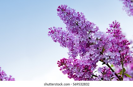 Close-up beautiful lilac flowers. Lilac on the blue background.