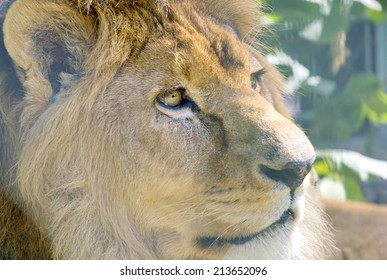 Closeup of the beautiful lion.