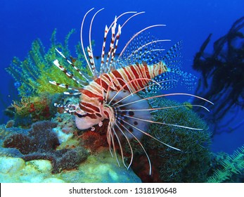 Close-up with beautiful Lion Fish in Sabah, Borneo.