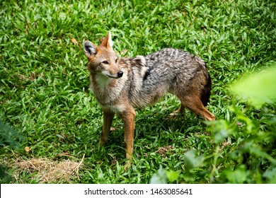 Closeup beautiful lonely wild Coyote , small wolf lives in North Western America and Mexico ,standing on green nature grass background.