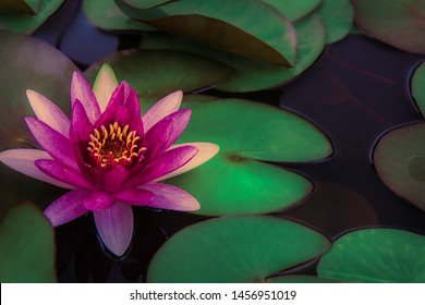 closeup beautiful lotus flower and green leaf in pond, purity nature background, red lotus water lily blooming on water surface and dark blue leaves toned In Asia, Thailand