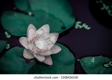 closeup beautiful lotus flower and green leaf in pond, purity nature background, red lotus water lily blooming on water surface and dark blue leaves toned