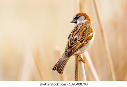 Close-up of a beautiful male house sparrow perching on a dry reed
