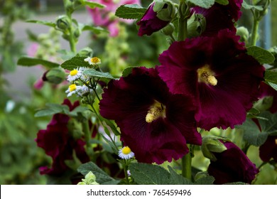 Closeup of beautiful maroon hollyhock alcea flower on background of grass in the garden, malva rose