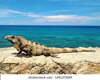 Close-up of beautiful Mexican iguana Ctenosaura Similis (aka black spiny-tailed iguana, black iguana) basking in sun with turquoise Caribbean Sea in background in Isla Mujeres, Riviera Maya, Mexico  - Shutterstock ID 1441372049