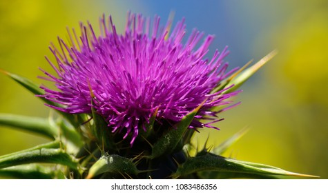 Closeup of beautiful milk thistle flower in full splendor, Silybum marianum