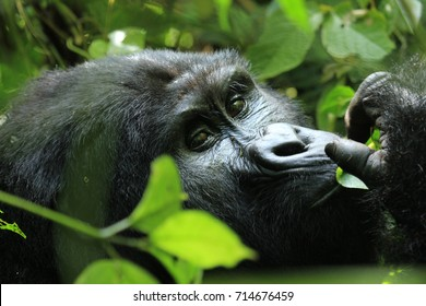 Closeup of a beautiful mountain gorilla seen in Bwindi forest Uganda. The gorillas can be seen by a gorilla trekking.