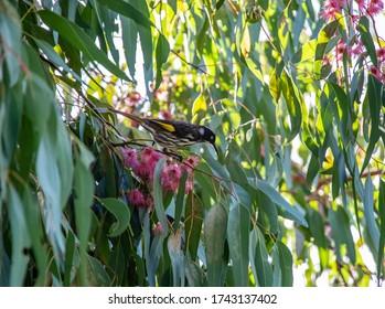 Closeup of a beautiful New Holland Honey Eater bird perching on an Australian red flowering gum tree.