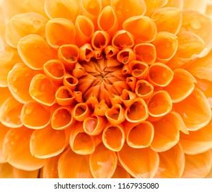 Close-up of a beautiful Orange Ball Dahlia Flower.