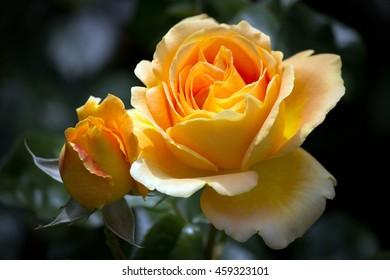Closeup of a beautiful pastel orange rose and rose bud