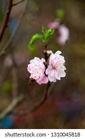 Closeup beautiful peach blossom