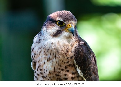 Closeup of a beautiful Peregrine Falcon on a perch