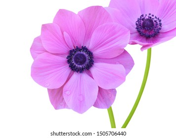 Closeup of beautiful pink anemone flower branch isolated white
