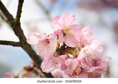 Closeup of beautiful pink cherry blossoms from Japan.