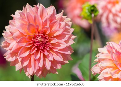Close-up of a beautiful Pink Dahlia (Asteraceae) Flower in the Morning Light.