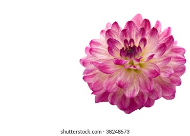 Close-up of beautiful pink dahlia (georgina), isolated over white