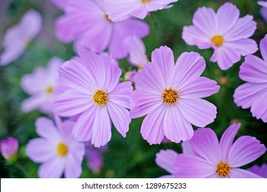 Closeup of beautiful pink flowers with nature background. (Selective focus on cosmos with copy space) - Concept about sweet and happiness for design work. Botanic garden in the city.