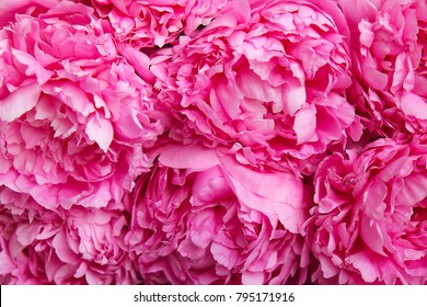 Closeup of beautiful pink peony flower blossoms. Happy International women's mother's valentine's first spring day symbol. Copy space, macro, close up, top view, backdrop, background.