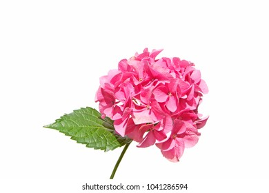 a closeup of beautiful pink purple Hydrangea (hortensia) plant flowers branch isolated on white