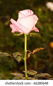 Closeup of beautiful pink rose in garden, Thailand.