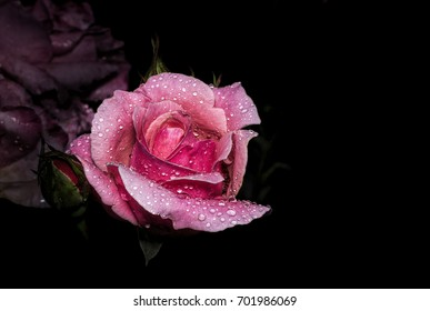 Closeup of a beautiful pink Rose with rain drops isolated on a black background