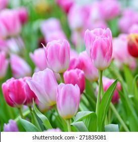 Closeup beautiful pink tulips in the garden
