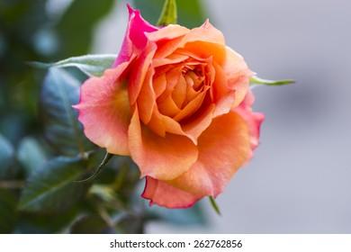 Closeup of a beautiful pink-orange miniature rose.