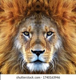 Closeup beautiful portrait of an African Lion.