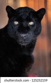 Close-up beautiful portrait black leopard