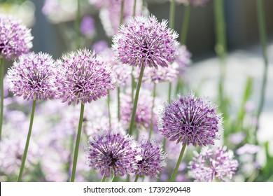 Closeup of beautiful purple allium flowers in bloom