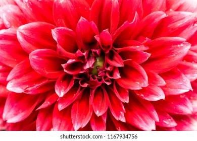 Close-up of a beautiful Red Ball Dahlia.