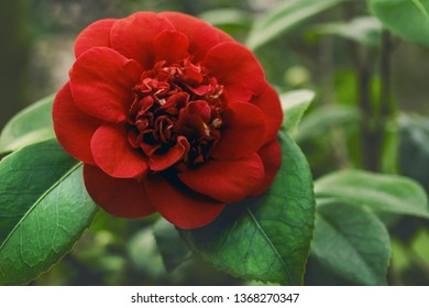 Close-up of a beautiful Red Camellia japonica (April Trys) in Spring. View of a  Purple Japanese Camellia with green Leaves.